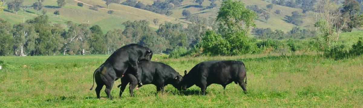 banner-bongongo-bulls