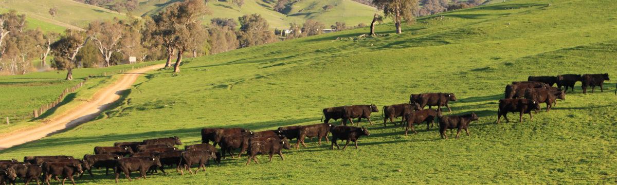 banner-bongongo-cattle-walking